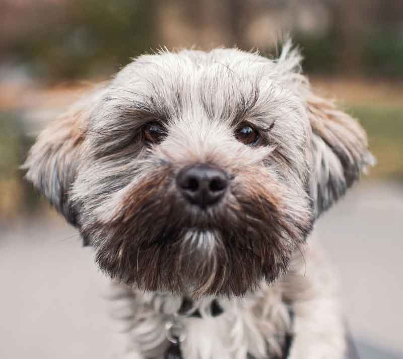 http://blog.modafabrics.com/wp-content/uploads/2018/03/CT-The-Dogist-Max-Shih-Tzu-Terrier-mix-11-months.jpg